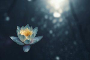 fiore di ninfea